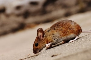 Mouse extermination, Pest Control in Ilford, Loxford, IG1. Call Now 020 8166 9746